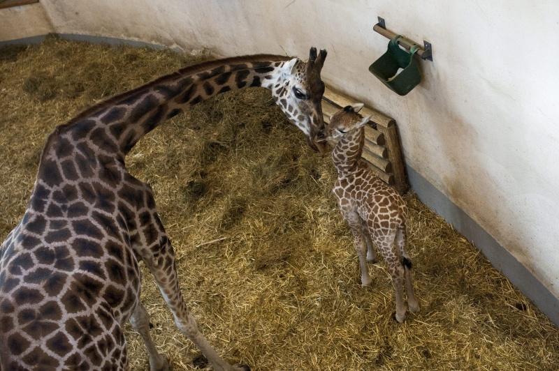 Zsiráfborjú született a budapesti állatkertben - MTI fotó: Marjai János